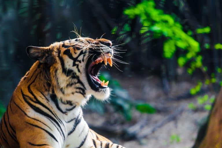Tiger Oge
